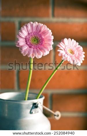 pink Gerber Daisy before brick wall - stock photo