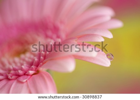 pink gerber daisy with water drop - stock photo