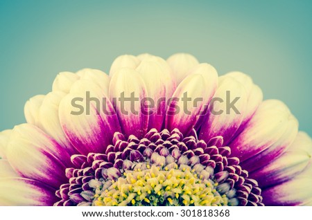 pink gerber flower against blue background - stock photo