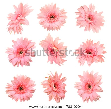 Pink Gerber flowers - stock photo