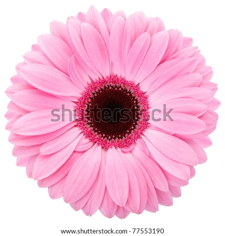 Pink gerber isolated on white, clipping path included - stock photo