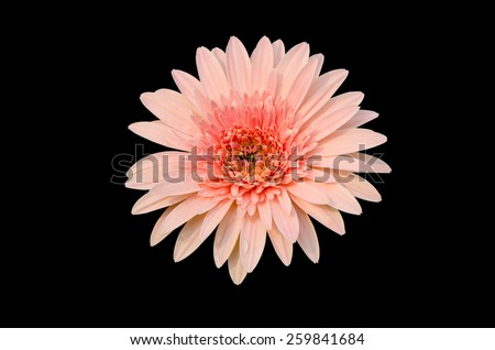 Pink Gerbera bloom Flowers isolated on black background. - stock photo