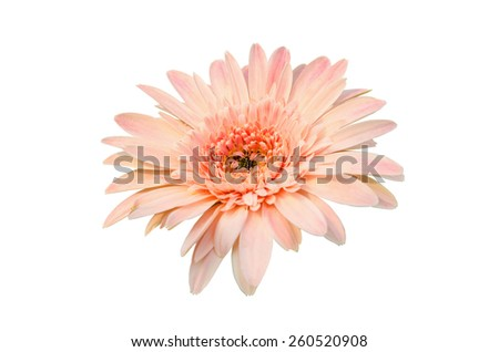 Pink Gerbera bloom Flowers isolated on white background. - stock photo