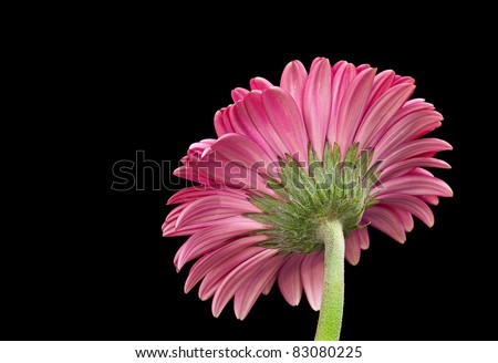 Pink Gerbera Daisy Flower Isolated on Black - stock photo