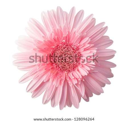 Pink Gerbera Daisy isolated on white - stock photo