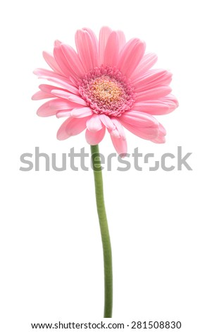 Pink gerbera daisy isolated on white background