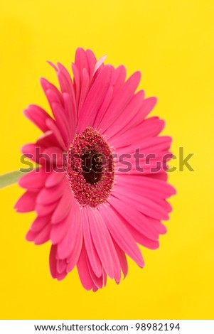 Pink gerbera daisy on a yellow background; shallow depth of field.  Gerberas are said to symolise purity, strength and thoughts of absent friends.