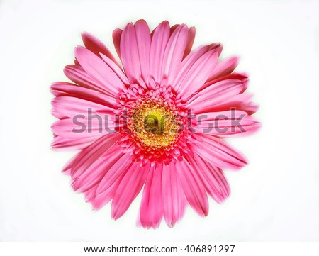 Pink gerbera Daisy. Pink flower isolate on white background.