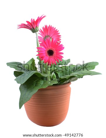 Pink Gerbera Daisy pot plant - stock photo