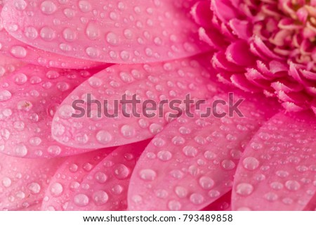 Pink Gerbera flower blossom with water drops - close up shot photo details spring time