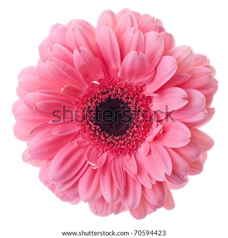 Pink gerbera flower closeup. Isolated on white - stock photo