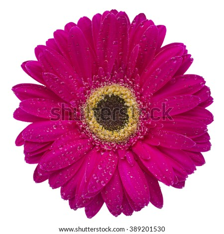 pink gerbera flower isolated on a white background with dew drop - stock photo