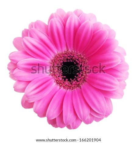 Pink gerbera flower isolated on white background - stock photo
