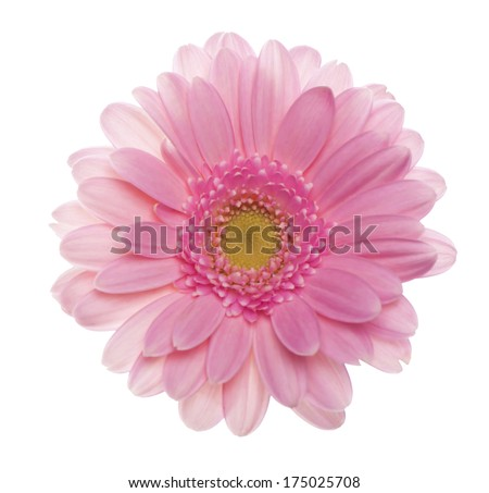 Pink gerbera flower. Isolated on white background  - stock photo