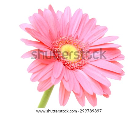 Pink gerbera flower, isolated on white background