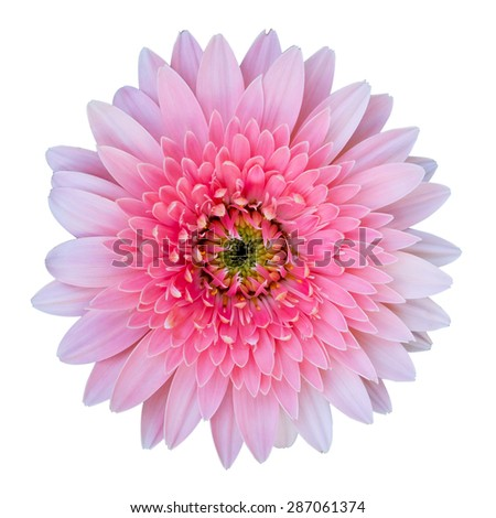 Pink gerbera flower isolated on white background with clipping path