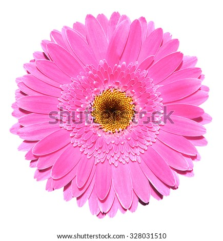 Pink gerbera flower macro photography isolated on white - stock photo