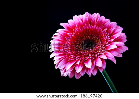 Pink gerbera flower on a dark background, selective focus, space for text  - stock photo
