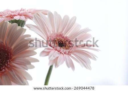pink gerbera flowers - stock photo