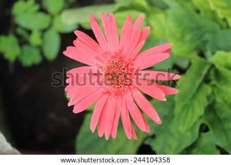 Pink gerbera flowers in pots. - stock photo