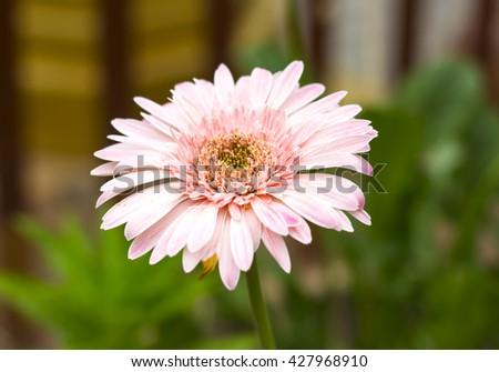 Pink gerbera flowers. selective focus - stock photo