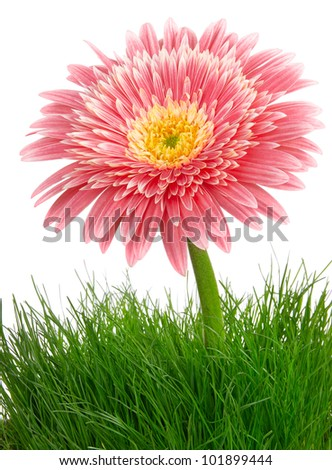 pink gerbera in grass over white background