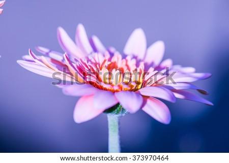 Pink Gerbera in Park, Thailand - stock photo