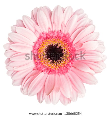 Pink gerbera isolated on white with clipping path - stock photo