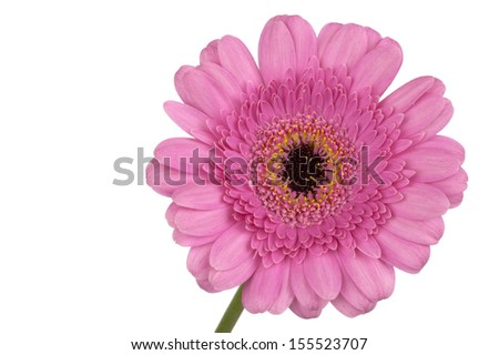 Pink Gerbera on stem in extreme closeup and isolated in white