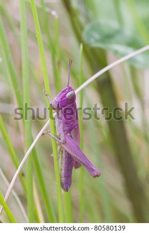 Pink Grasshopper adult common green grasshopper, which has been born pink. - stock photo