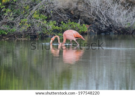Pink greater flamingo (Phoenicopterus ruber) in Bachas beach, Santa Cuz, Galapagos, Ecuador - stock photo