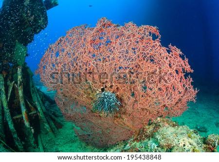 Pink hard corals near manmade debris underwater - stock photo