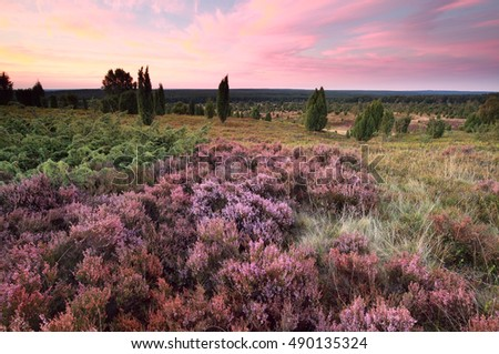 pink heather flowers on hills at sunset, Wilsede, Luneburger heide, Germany