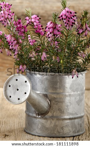 pink heather in a small zinc watering can - stock photo
