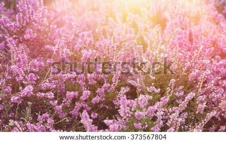 Pink heather with sun flare - stock photo