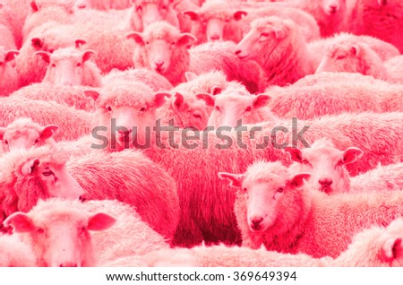 Pink herd of Sheep in the rain, New Zealand, Pink herd of wooly wet sheep looking towards the viewer. Focus on one sheep. Selective color changing.  - stock photo