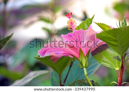 Pink Hibiscus                          - stock photo