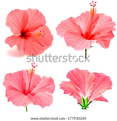 Pink hibiscus collection isolated on white background - stock photo
