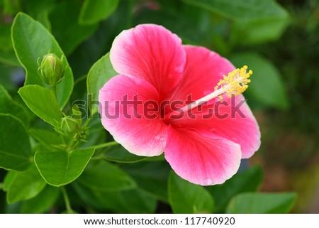 Pink Hibiscus flower. - stock photo