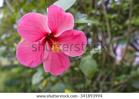 Pink hibiscus flowers,Select Focus - stock photo