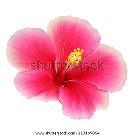 Pink Hibiscus on white background - stock photo