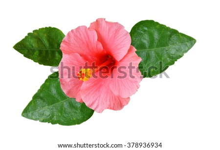 Pink Hibiscus on white background with path       - stock photo