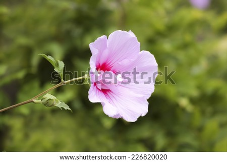 Pink Hibiscus single flower on green foliage background - stock photo