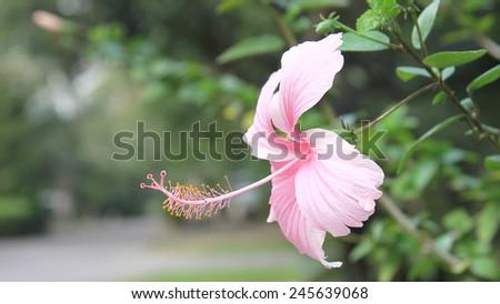pink Hibiscus,Tropical flower on garden - stock photo