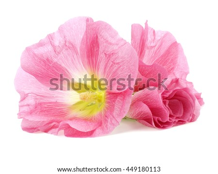 Pink hollyhock flower on a white