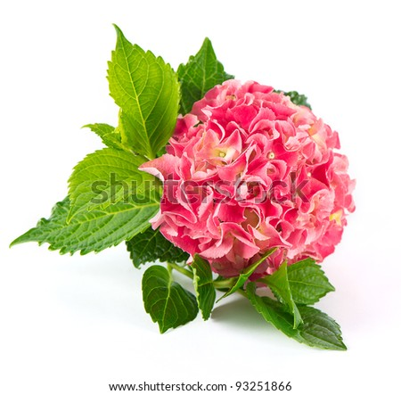 pink hortensia blossom with green leaves. fresh hydrangea flower on white background