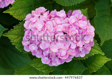 Pink hortensia (hydrangea) flower blooming in early July