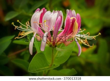 pink huge flower of honeysuckle - stock photo