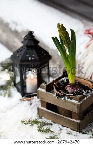 Pink hyacinth and black lantern outdoors - stock photo