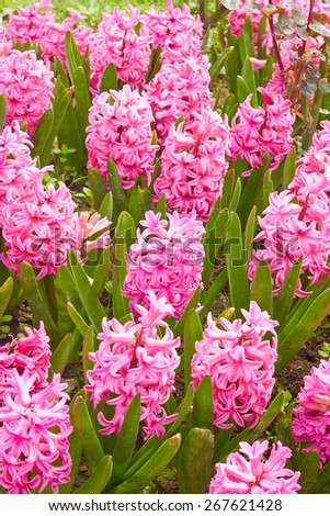 Pink hyacinth flower bed - stock photo